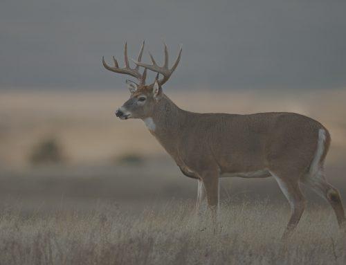 The White-Tailed Deer Rut has Begun!