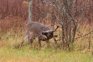 whitetail deer in rut
