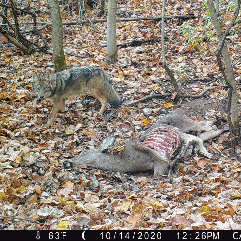 coyote over doe carcass