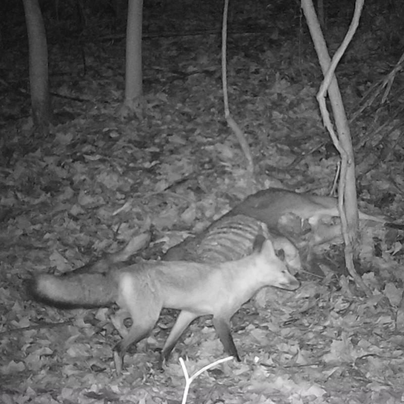 fox over a doe carcass